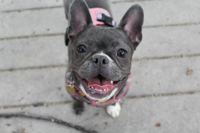 Zoe, the French bulldog.