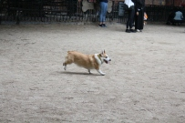 The corgis all tried to heard the other dogs.